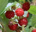 Raspberries - mmm - Flickr - S. Rae.jpg