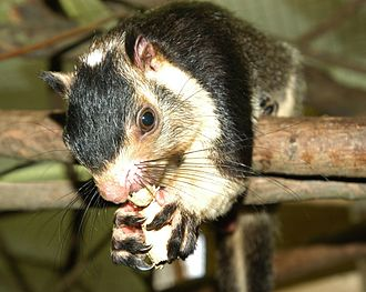 Langhian - Grizzled Giant Squirrel, Ratufa macroura. Its genus was probably already distinct in the Langhian.