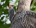 Red-bellied Woodpecker (37283503900).jpg