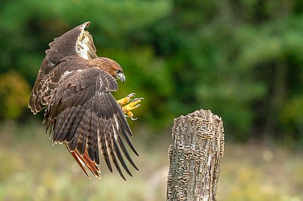 At the end of an aggressive flight Red-tailed hawk landing.jpg