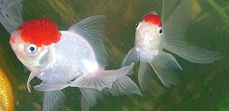 Oranda - A pair of red cap oranda goldfish. The one on the left has red-colored lips.