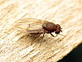 Red Drosophila (48377392631).jpg