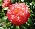 Red Rose flowers 16.jpg