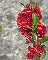 Red Roses (18250400960).jpg