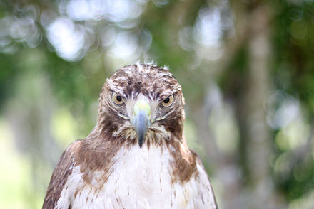 A juvenile red-tailed hawk Red Tailed Hawk Stare.jpg