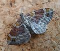 Red Twin-spot Carpet. Xanthorhoe spadicearia - Flickr - gailhampshire (3).jpg