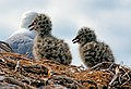 Red billed gull and chicks. (from a hide) (10640738074).jpg