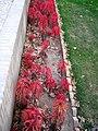 Red flowers - Omar Khayyam Garden - Nishapur 4.JPG