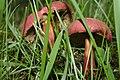 Red mushrooms (19792412290).jpg