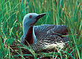 RedthroatedLoon23(uncropped).jpg