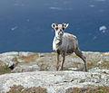 Reindeer Torkilstöten 2012 Crop.jpg