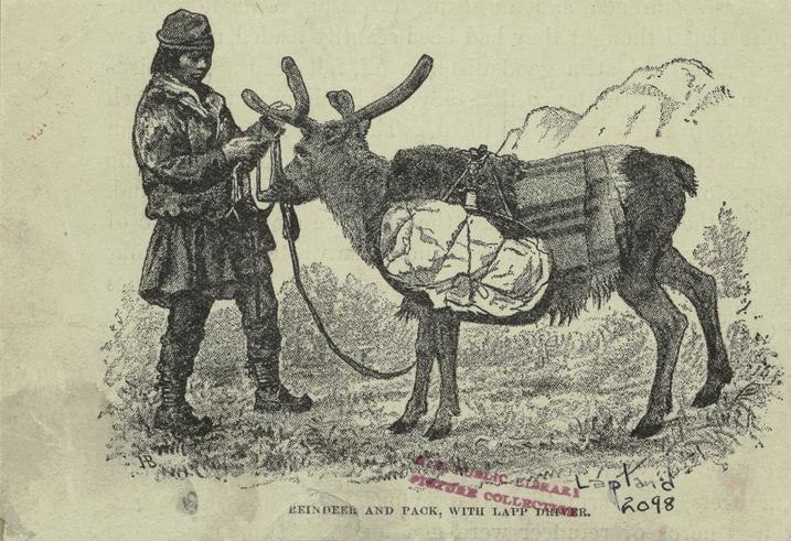 Reindeer and pack, with Lapp driver