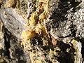Resin on Pinus edulis bark.jpg