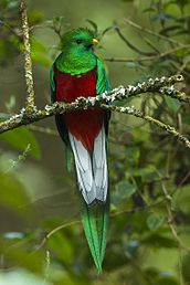 Resplendent Quetzal male - Cloud Forest in Costa Rica.jpg