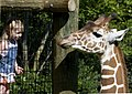 Reticulated Giraffe at the Fort Wayne Children's Zoo, Fort Wayne, IN.jpg