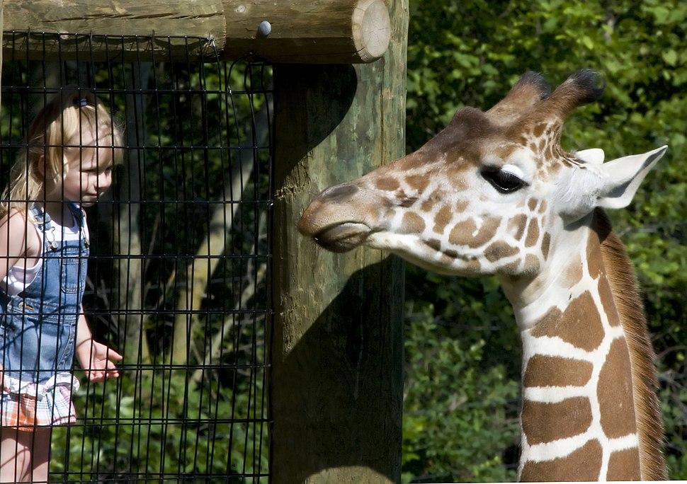 Reticulated Giraffe at the Fort Wayne Children's Zoo, Fort Wayne, IN