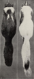 Revision of the skunks of the genus Chincha (1901) pl. 1 M. m. elongata.png