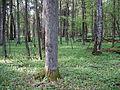 Rezerwat ścisły w Puszczy Białowieskiej 1 (Nemo5576).jpg