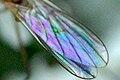 Rhamphomyia.flava9.-.lindsey.jpg