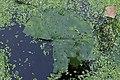 Rhamphospora nymphaeae on Nymphaea sp. cult. (44425965585).jpg