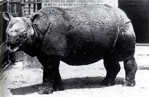 Javan rhinoceros - R. s. sondaicus in the London Zoo from March 1874 until January 1885