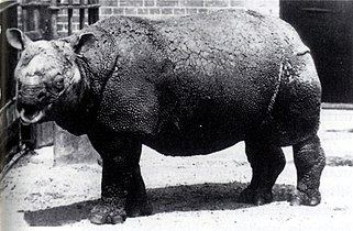 Rhinoceros sondaicus in London Zoo.jpg