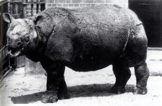 Rhinoceros sondaicus in London Zoo
