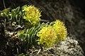 Rhodiola rosea (48037048857).jpg