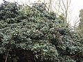 Rhododendron arboreum subsp. nilagiricum (6370342303).jpg