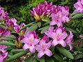 Rhododendron catawbiense 20.JPG