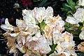 Rhododendron catawbiense Album 3zz.jpg