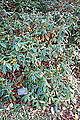 Rhododendron ciliicalyx - Mendocino Coast Botanical Gardens - DSC02232.JPG