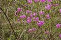 Rhododendron dilatatum 07.jpg
