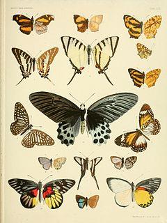 <i>Atrophaneura sycorax</i> species of insect