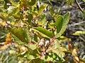 Rhus aromatica (R. trilobata) (5020619659).jpg