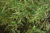 Rhus mysorensis (Mysore Sumac) W2 IMG 3601