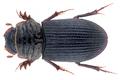 Rhyssemus inscitus (Walker, 1858).png