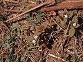 Richardia scabra (5653579945).jpg