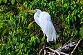 Rio Dulce excursion-Great Egret (6995990931).jpg