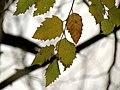 River Birch (31193307151).jpg