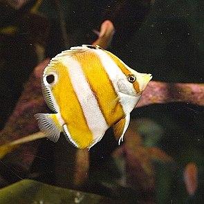 Japan-Roa-Falterfisch (Roa modesta)