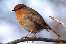 robin europea su un ramo di fronte a sinistra, piumaggio marrone chiaro con la faccia d'arancia e della gola