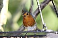 Robin - May 2009 (3560676874).jpg