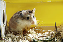 Hamster Top Small Animal