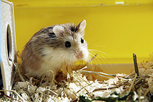 English: Roborovski hamster