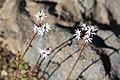 Rock star Lithophragma glabrum flowers.jpg