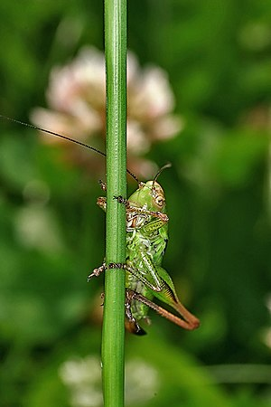 Roesel's bush-cricket - Female