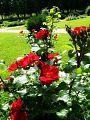 Roosid Oru pargi aias.jpg