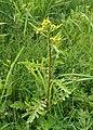 Rorippa palustris kz02.jpg