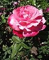 Rosa-colormagic.jpg